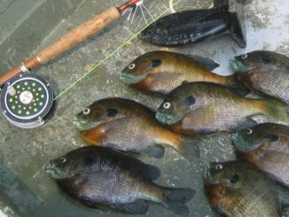 fly fish bluegills