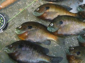 bluegill fly fishing