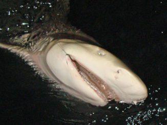 florida shark fishing