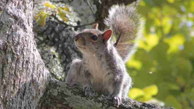 What Affects Squirrel Population